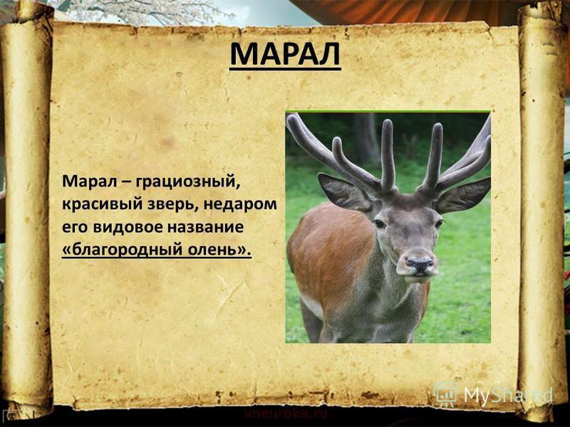 МАРАЛ Марал – грациозный, красивый зверь, недаром его видовое название «благородный олень».