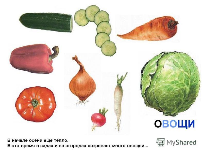 В начале осени еще тепло. В это время в садах и на огородах созревает много овощей... ОВОЩИ