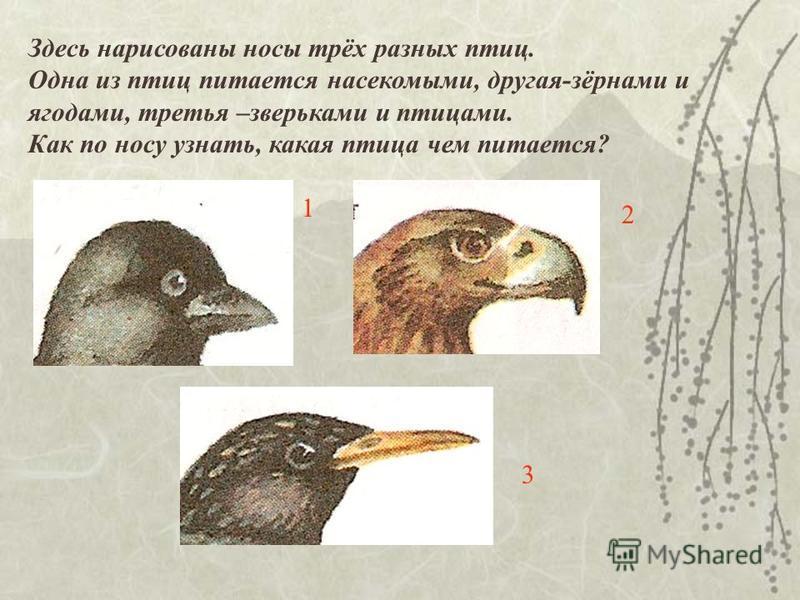 Здесь нарисованы носы трёх разных птиц. Одна из птиц питается насекомыми, другая-зёрнами и ягодами, третья –зверьками и птицами. Как по носу узнать, какая птица чем питается? 1 2 3