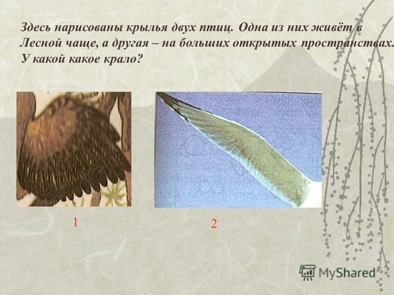 Здесь нарисованы крылья двух птиц. Одна из них живёт в Лесной чаще, а другая – на больших открытых пространствах. У какой какое крало? 1 2
