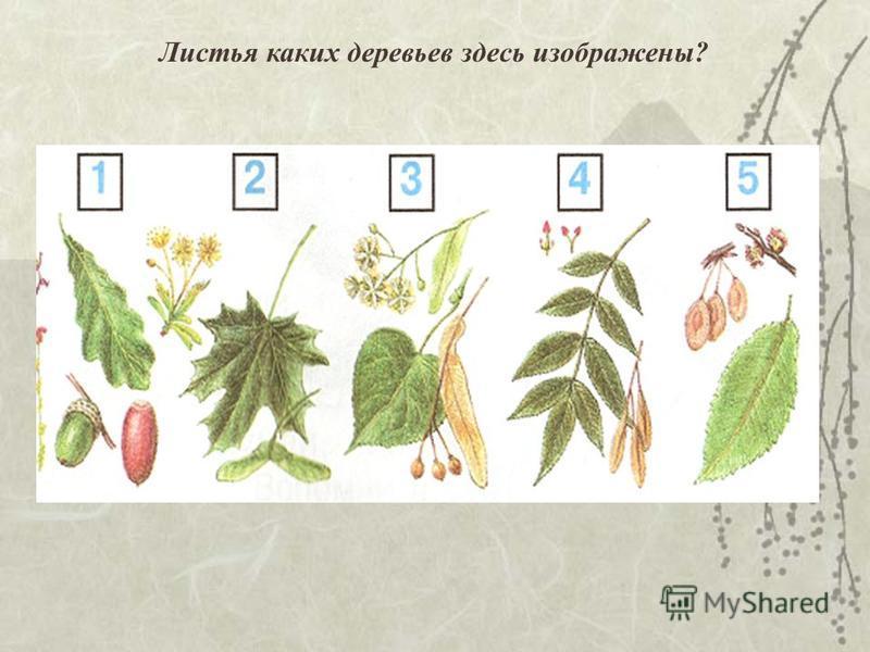 Листья каких деревьев здесь изображены?