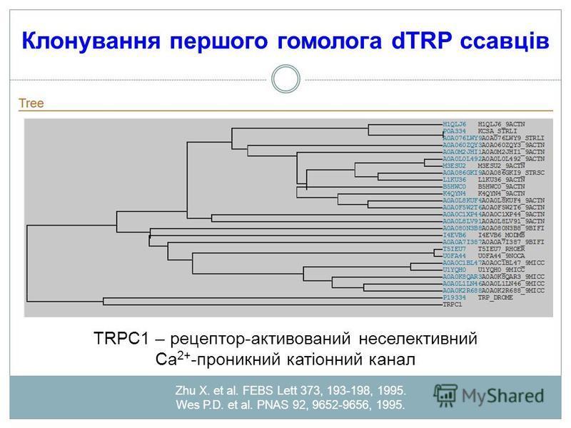Клонування першого гомолога dTRP ссавців TRPC1 – рецептор-активований неселективний Са 2+ -проникний катіонний канал Zhu X. et al. FEBS Lett 373, 193-198, 1995. Wes P.D. et al. PNAS 92, 9652-9656, 1995.