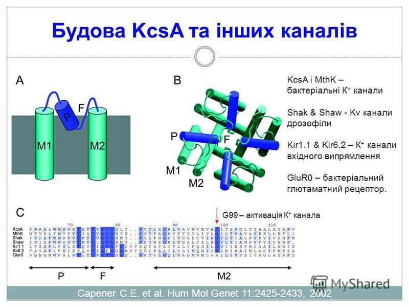 Будова KcsA та інших каналів Capener C.E. et al. Hum Mol Genet 11:2425-2433, 2002 KcsA і MthK – бактеріальні К + канали Shak & Shaw - Kv канали дрозофіли Kir1.1 & Kir6.2 – К + канали вхідного випрямлення GluR0 – бактеріальний глютаматний рецептор. G9