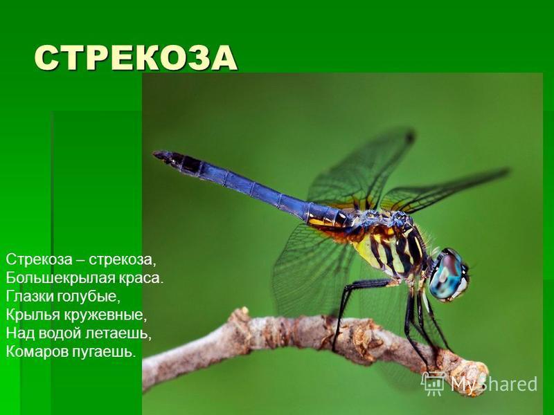 СТРЕКОЗА Стрекоза – стрекоза, Большекрылая краса. Глазки голубые, Крылья кружевные, Над водой летаешь, Комаров пугаешь.