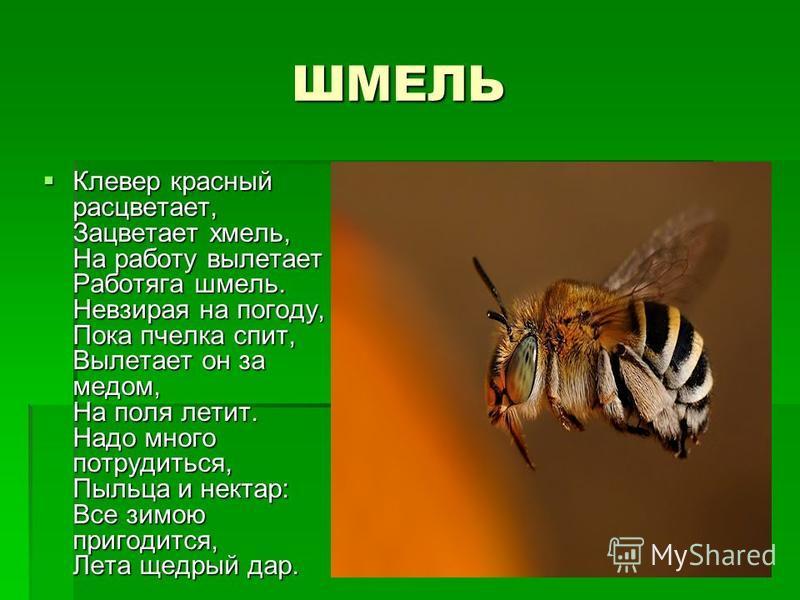 ШМЕЛЬ ШМЕЛЬ Клевер красный расцветает, Зацветает хмель, На работу вылетает Работяга шмель. Невзирая на погоду, Пока пчелка спит, Вылетает он за медом, На поля летит. Надо много потрудиться, Пыльца и нектар: Все зимою пригодится, Лета щедрый дар. Клев
