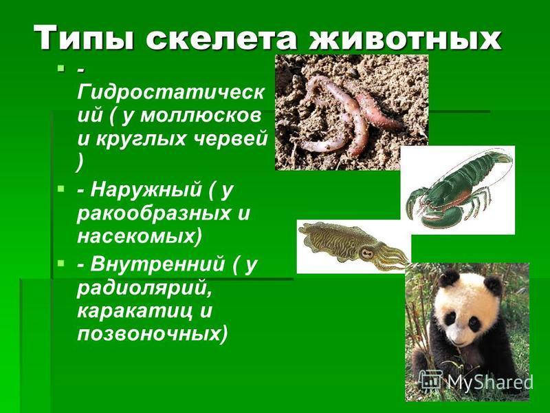 Типы скелета животных - - Гидростатическ ий ( у моллюсков и круглых червей ) - Наружный ( у ракообразных и насекомых) - Внутренний ( у радиолярий, каракатиц и позвоночных)