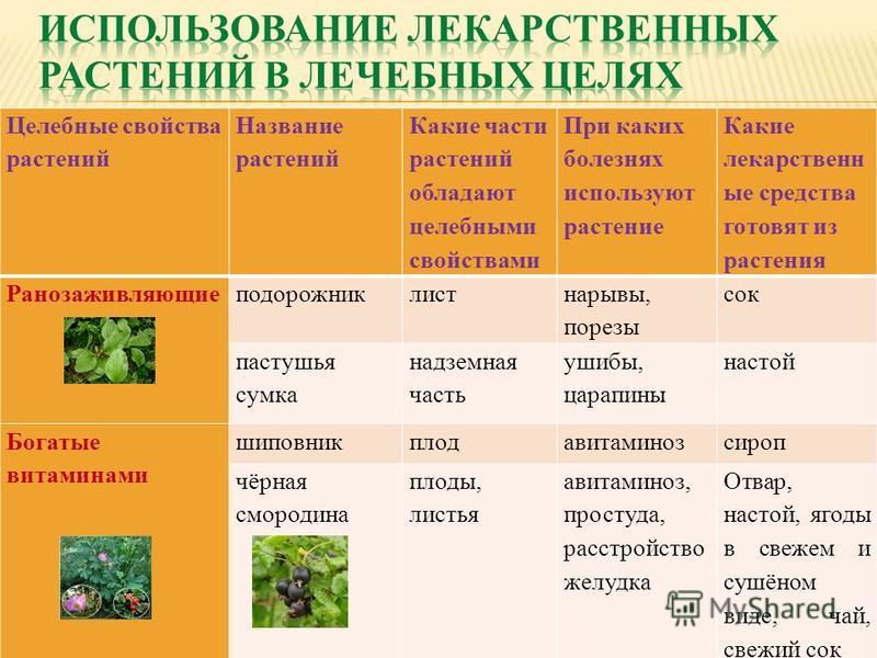 Целебные свойства растений Название растений Какие части растений обладают целебными свойствами При каких болезнях используют растение Какие лекарственные средства готовят из растения Ранозаживляющиеподорожниклист нарывы, порезы сок пастушья сумка на