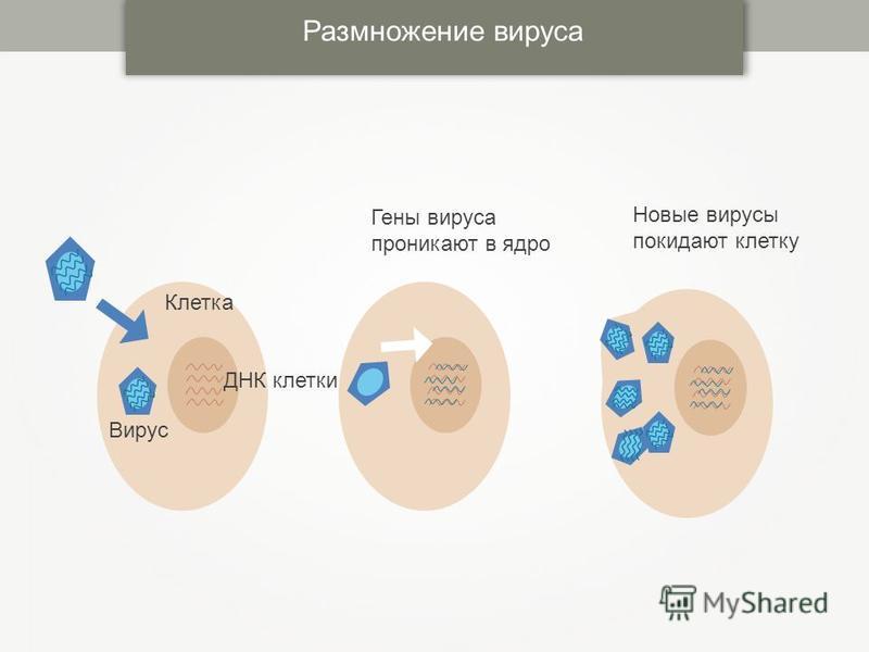 Размножение вируса ДНК клетки Вирус Клетка Гены вируса проникают в ядро Новые вирусы покидают клетку