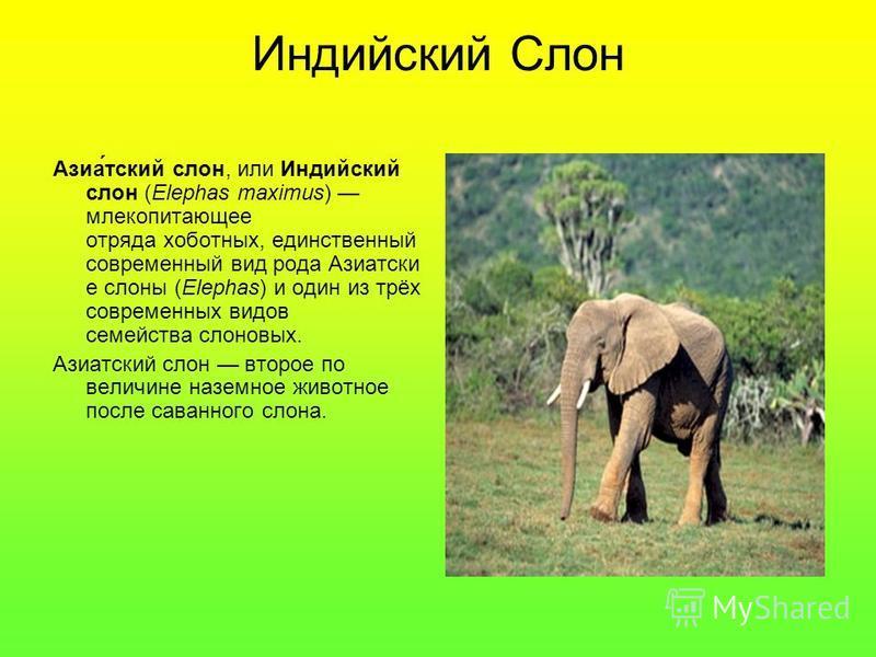 Реферат на тему индийский слон 1404