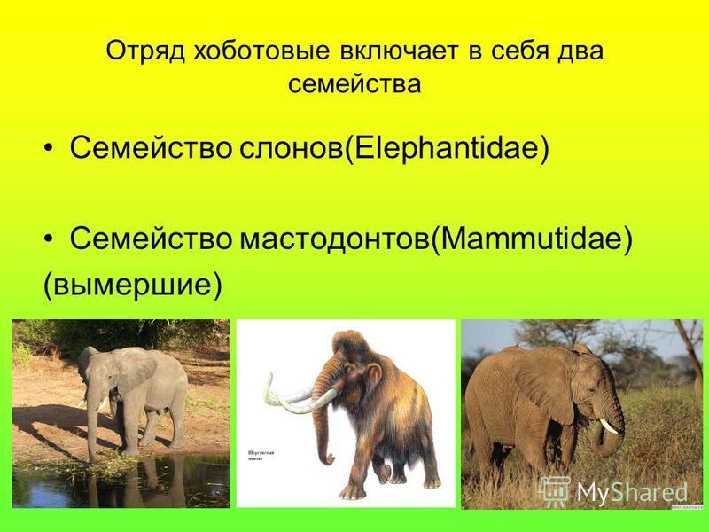 Отряд хоботовые включает в себя два семейства Семейство слонов(Elephantidae) Семейство мастодонтов(Mammutidae) (вымершие)