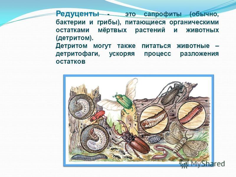 Редуценты - это сапрофиты (обычно, бактерии и грибы), питающиеся органическими остатками мёртвых растений и животных (детритом). Детритом могут также питаться животные – детритофаги, ускоряя процесс разложения остатков