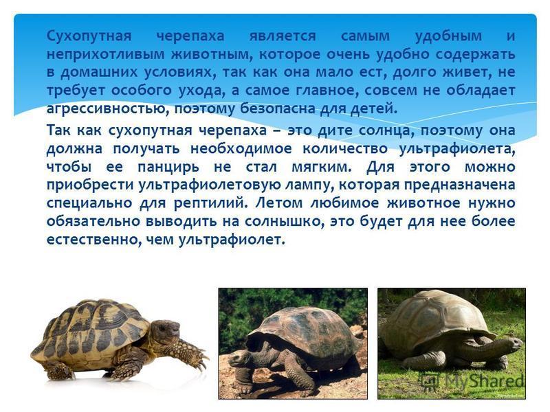 Черепахи сухопутные уход и содержание в домашних условиях