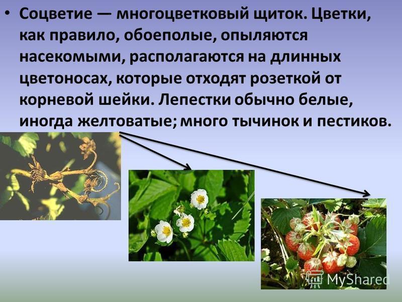 Соцветие многоцветковый щиток. Цветки, как правило, обоеполые, опыляются насекомыми, располагаются на длинных цветоносах, которые отходят розеткой от корневой шейки. Лепестки обычно белые, иногда желтоватые; много тычинок и пестиков.
