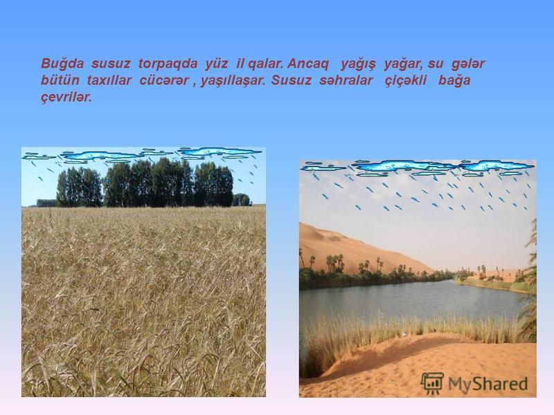 Buğda susuz torpaqda yüz il qalar. Ancaq yağış yağar, su gələr bütün taxıllar cücərər, yaşıllaşar. Susuz səhralar çiçəkli bağa çevrilər.