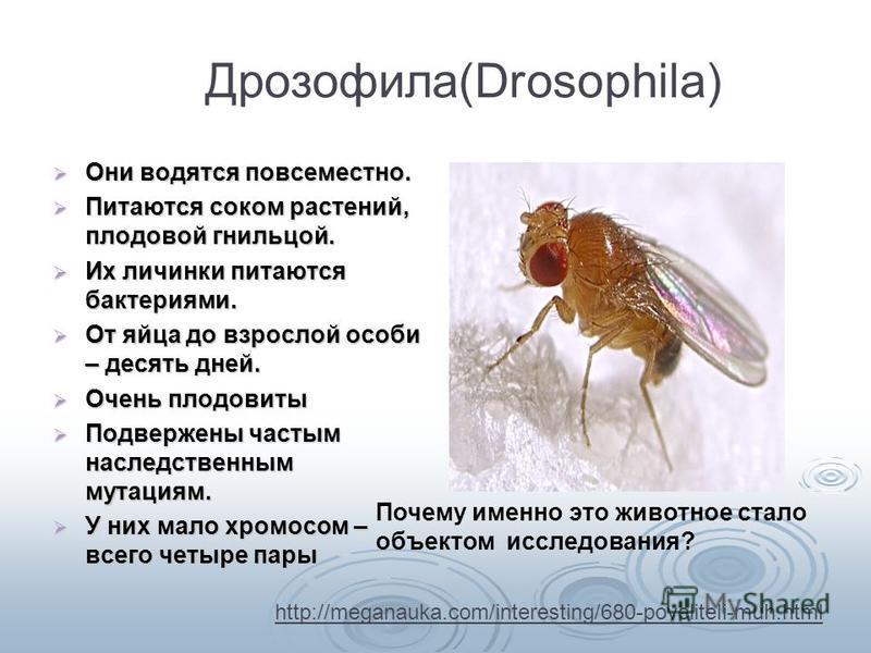 ДрозофилаDrosophila) Дрозофила(Drosophila) Они водятся повсеместно. Они водятся повсеместно. Питаются соком растений, плодовой гнильцой. Питаются соком растений, плодовой гнильцой. Их личинки питаются бактериями. Их личинки питаются бактериями. От яй