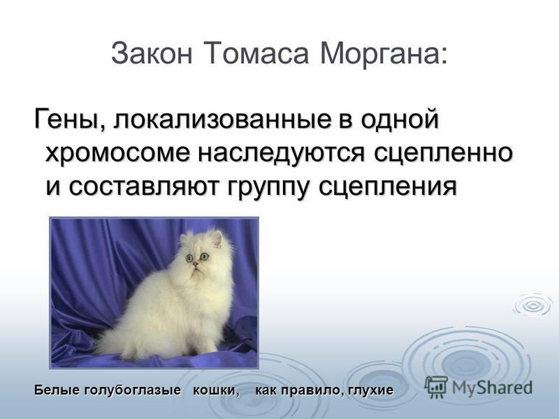 Закон Томаса Моргана: Гены, локализованные в одной хромосоме наследуются сцепленно и составляют группу сцепления Белые голубоглазые кошки, как правило, глухие