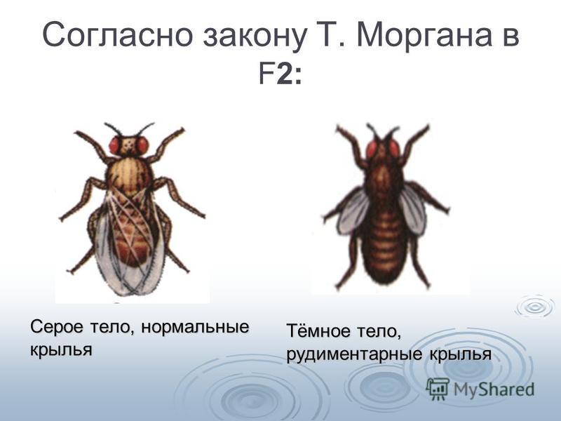 Согласно закону Т. Моргана в F2: Серое тело, нормальные крылья Тёмное тело, рудиментарные крылья
