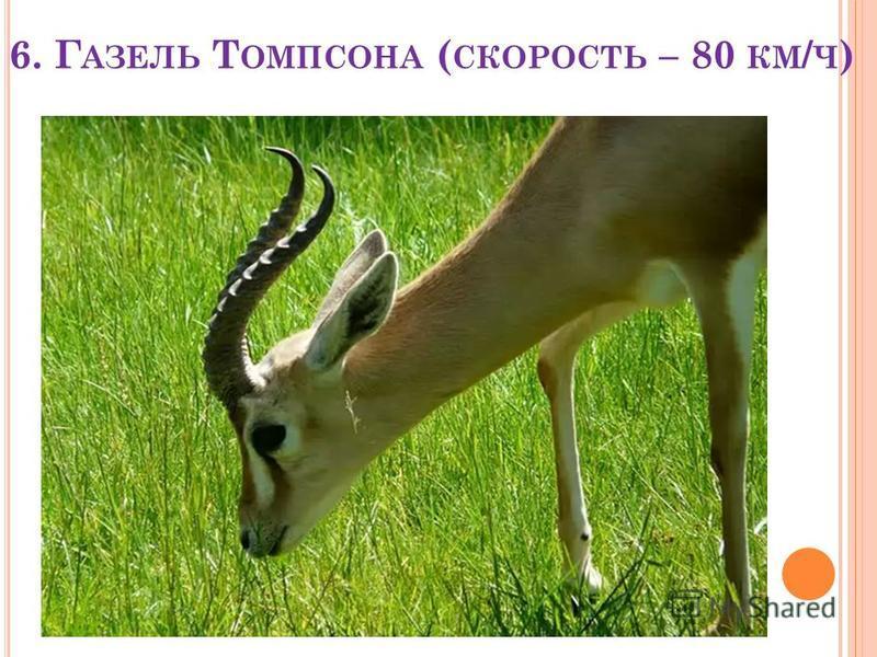 6. Г АЗЕЛЬ Т ОМПСОНА ( СКОРОСТЬ – 80 КМ / Ч )