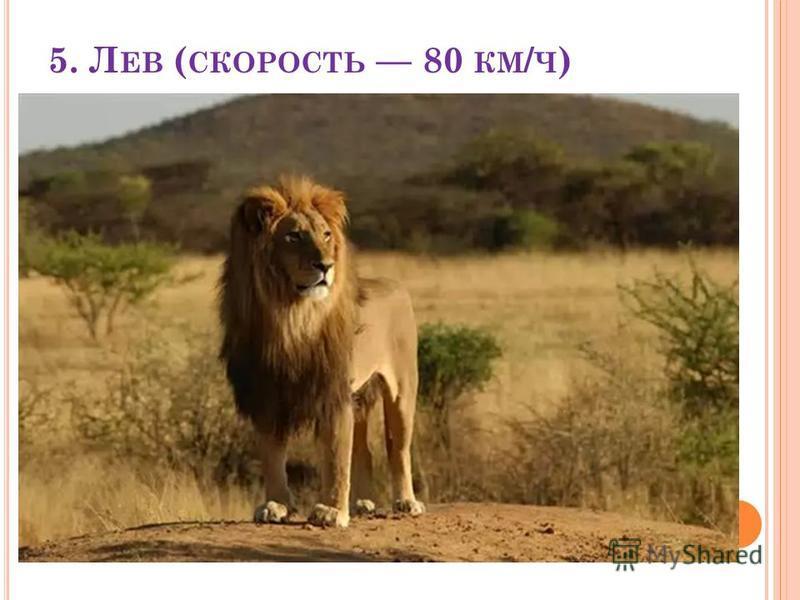 5. Л ЕВ ( СКОРОСТЬ 80 КМ / Ч )