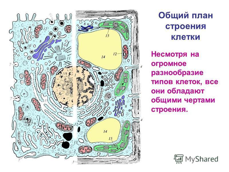 Общий план строения клетки Несмотря на огромное разнообразие типов клеток, все они обладают общими чертами строения.