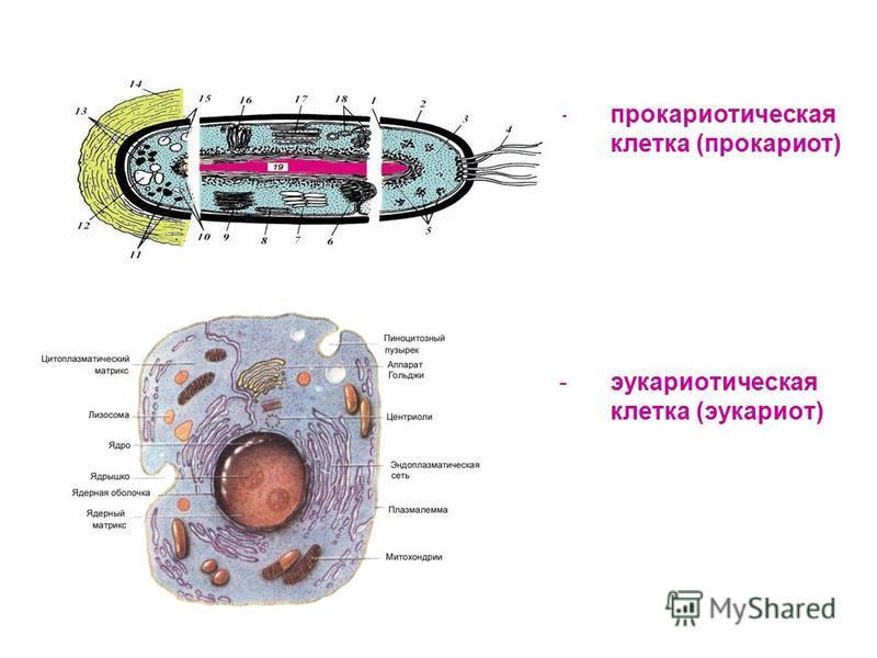 -прокариотическая клетка (прокариот) -эукариотическая клетка (эукариот)