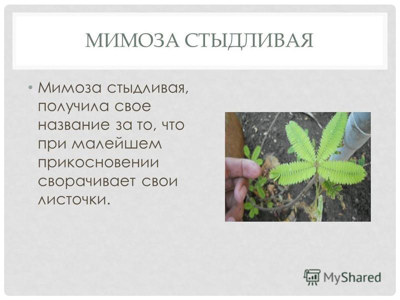 МИМОЗА СТЫДЛИВАЯ Мимоза стыдливая, получила свое название за то, что при малейшем прикосновении сворачивает свои листочки.