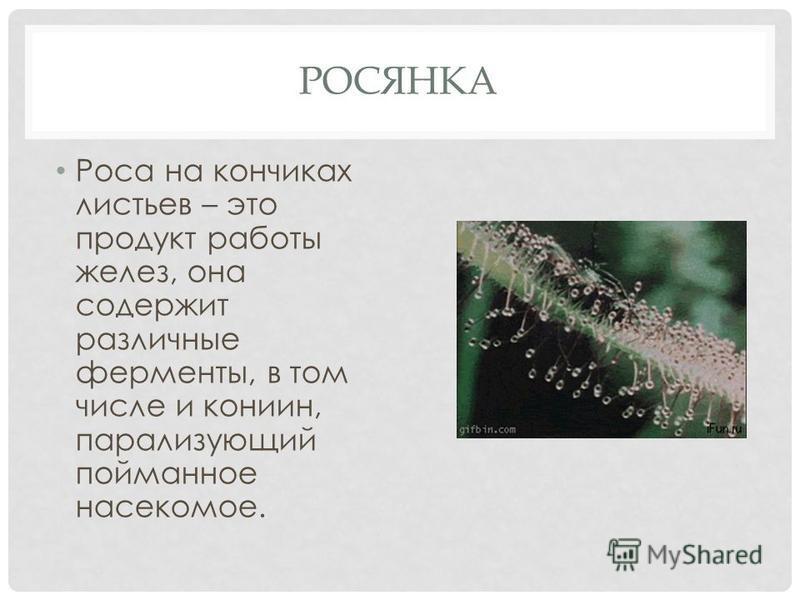 РОСЯНКА Роса на кончиках листьев – это продукт работы желез, она содержит различные ферменты, в том числе и кониин, парализующий пойманное насекомое.