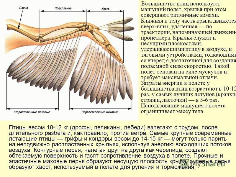 Большинство птиц используют машущий полет, крылья при этом совершают ритмичные взмахи. Ближняя к телу часть крыла движется вверх-вниз, удаленная по траектории, напоминающей движение пропеллера. Крылья служат и несущими плоскостями, удерживающими птиц