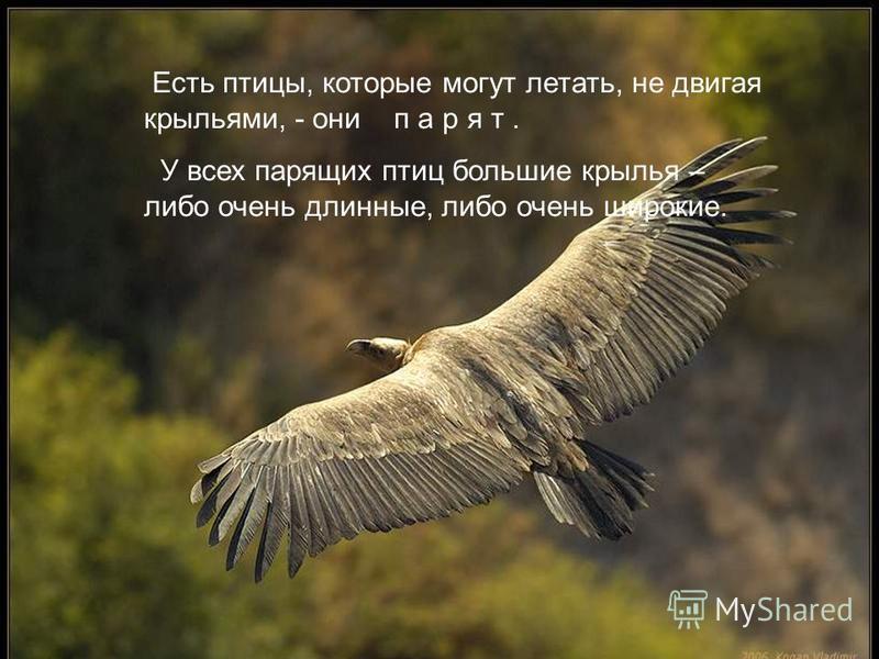 Крылья поднимают птицу в воздух. Птицы машут крыльями и летят :одни тише, другие быстрей. Есть птицы, которые могут летать, не двигая крыльями, - они п а р я т. У всех парящих птиц большие крылья – либо очень длинные, либо очень широкие.