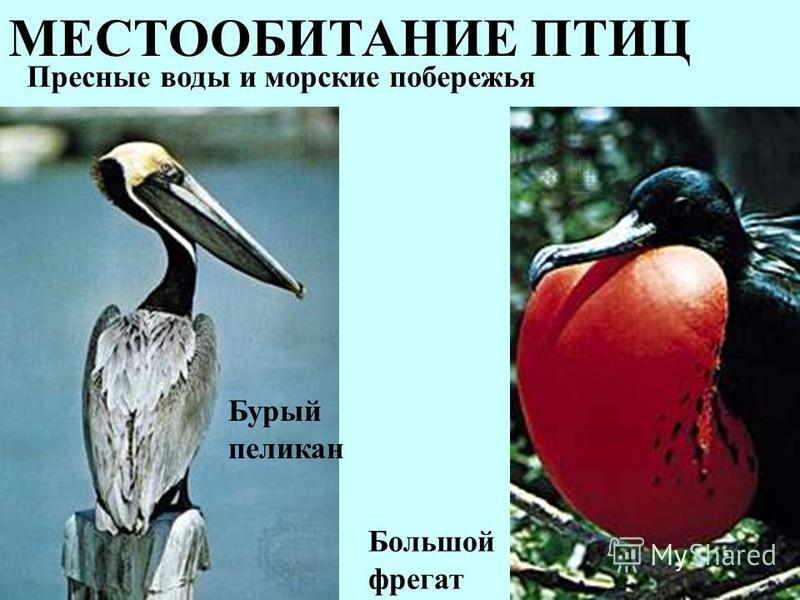 МЕСТООБИТАНИЕ ПТИЦ Пресные воды и морские побережья Бурый пеликан Большой фрегат