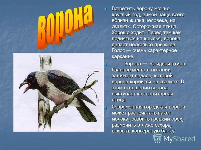 Встретить ворону можно круглый год, зимой чаще всего вблизи жилья человека, на свалках. Осторожная птица. Хорошо ходит. Перед тем как подняться на крылья, ворона делает несколько прыжков. Голос очень характерное карканье. Встретить ворону можно кругл