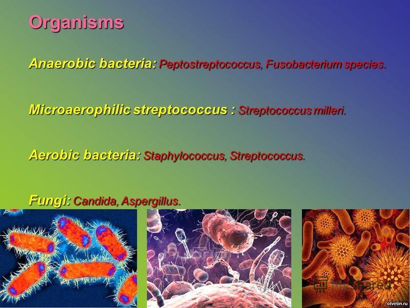 Organisms Anaerobic bacteria: Peptostreptococcus, Fusobacterium species. Microaerophilic streptococcus : Streptococcus milleri. Aerobic bacteria: Staphylococcus, Streptococcus. Fungi: Candida, Aspergillus.,