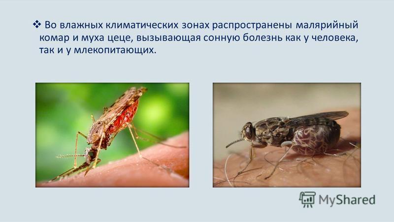 Во влажных климатических зонах распространены малярийный комар и муха цеце, вызывающая сонную болезнь как у человека, так и у млекопитающих.