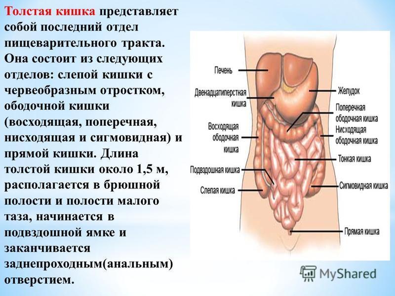 Толстая кишка представляет собой последний отдел пищеварительного тракта. Она состоит из следующих отделов: слепой кишки с червеобразным отростком, ободочной кишки (восходящая, поперечная, нисходящая и сигмовидная) и прямой кишки. Длина толстой кишки