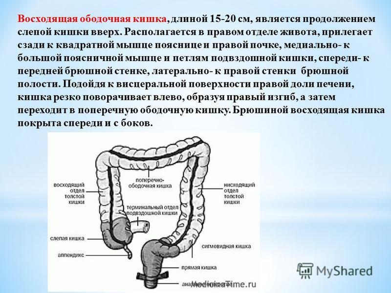 Восходящая ободочная кишка, длиной 15-20 см, является продолжением слепой кишки вверх. Располагается в правом отделе живота, прилегает сзади к квадратной мышце пояснице и правой почке, медиально- к большой поясничной мышце и петлям подвздошной кишки,