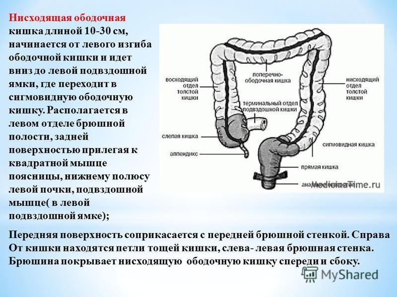 Нисходящая ободочная кишка длиной 10-30 см, начинается от левого изгиба ободочной кишки и идет вниз до левой подвздошной ямки, где переходит в сигмовидную ободочную кишку. Располагается в левом отделе брюшной полости, задней поверхностью прилегая к к