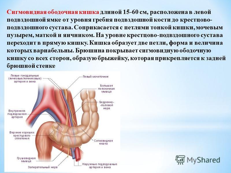 Сигмовидная ободочная кишка длиной 15-60 см, расположена в левой подвздошной ямке от уровня гребня подвздошной кости до крестцово- подвздошного сустава. Соприкасается с петлями тонкой кишки, мочевым пузырем, маткой и яичником. На уровне крестцово-под