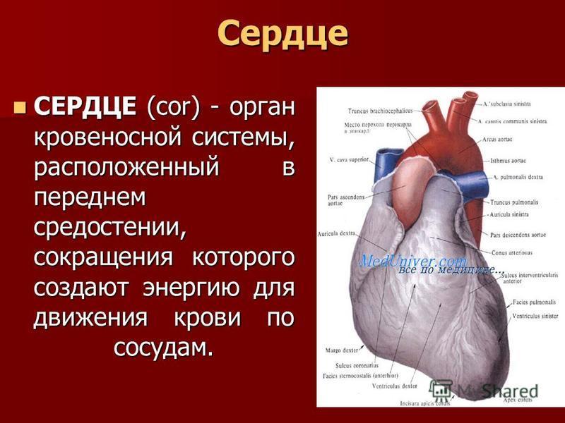 Сердце СЕРДЦЕ (сок) - орган кровеносной системы, расположенный в переднем средостении, сокращения которого создают энергию для движения крови по сосудам. СЕРДЦЕ (сок) - орган кровеносной системы, расположенный в переднем средостении, сокращения котор