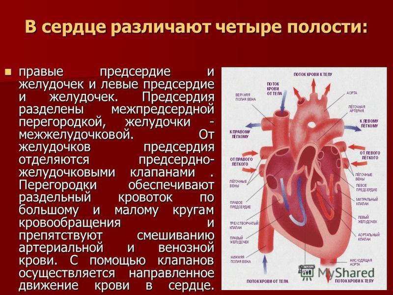 В сердце различают четыре полости: правые предсердие и желудочек и левые предсердие и желудочек. Предсердия разделены межпредсердной перегородкой, желудочки - межжелудочковой. От желудочков предсердия отделяются предсердно- желудочковыми клапанами. П