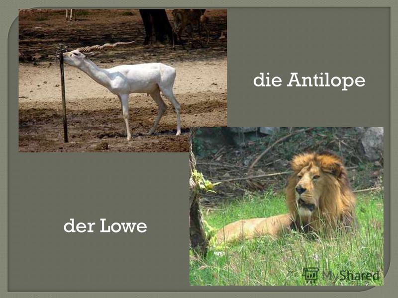 die Antilope der Lowe