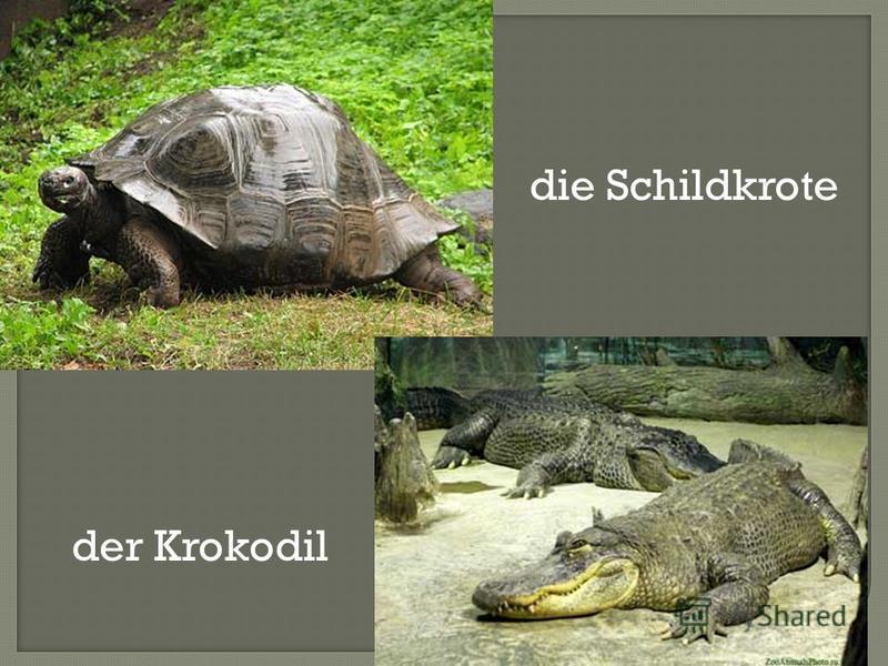 die Schildkrote der Krokodil