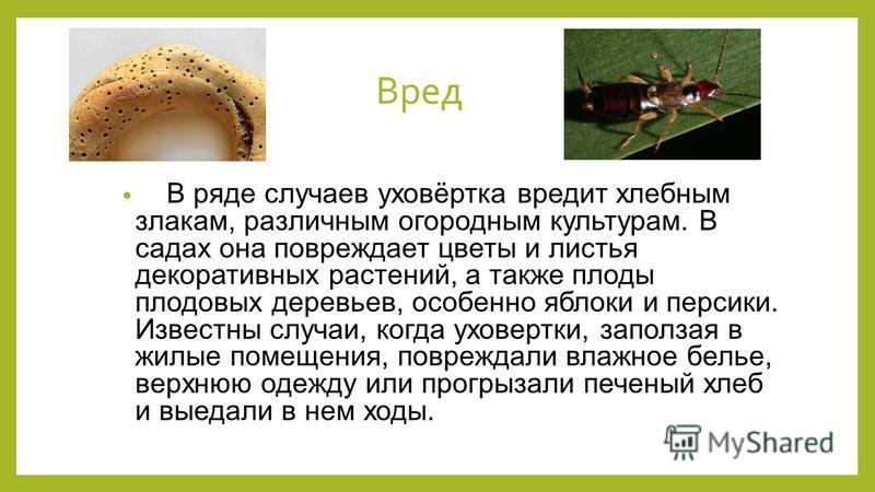 Вред В ряде случаев уховёртка вредит хлебным злакам, различным огородным культурам. В садах она повреждает цветы и листья декоративных растений, а также плоды плодовых деревьев, особенно яблоки и персики. Известны случаи, когда уховертки, заползая в