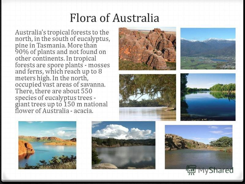 Flora of Australia Australia's tropical forests to the north, in the south of eucalyptus, pine in Tasmania. More than 90% of plants and not found on other continents. In tropical forests are spore plants - mosses and ferns, which reach up to 8 meters