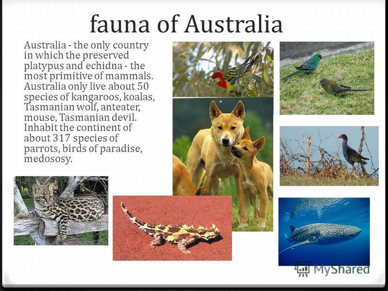 fauna of Australia Australia - the only country in which the preserved platypus and echidna - the most primitive of mammals. Australia only live about 50 species of kangaroos, koalas, Tasmanian wolf, anteater, mouse, Tasmanian devil. Inhabit the cont