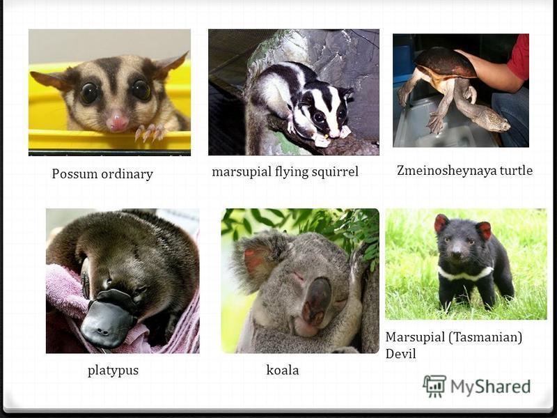 Possum ordinary marsupial flying squirrel Zmeinosheynaya turtle platypuskoala Marsupial (Tasmanian) Devil