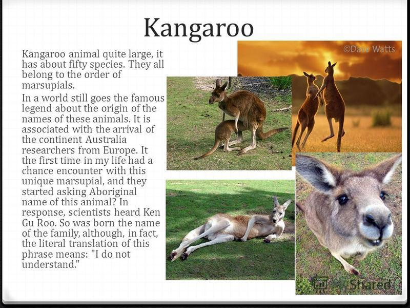 Kangaroo Kangaroo animal quite large, it has about fifty species. They all belong to the order of marsupials. In a world still goes the famous legend about the origin of the names of these animals. It is associated with the arrival of the continent A