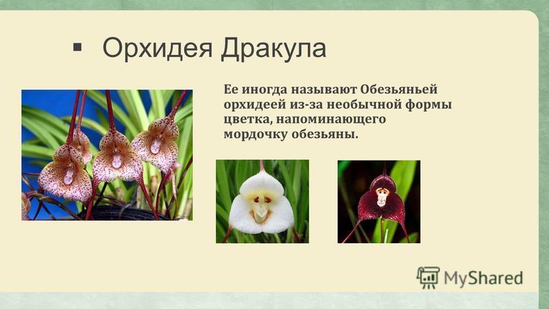 Орхидея Дракула Ее иногда называют Обезьяньей орхидеей из-за необычной формы цветка, напоминающего мордочку обезьяны.