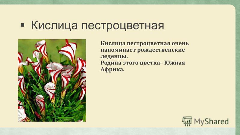 Кислица пестроцветная Кислица пестроцветная очень напоминает рождественские леденцы. Родина этого цветка– Южная Африка.