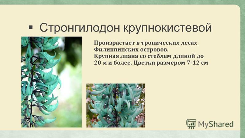 Стронгилодон крупно кистевой Произрастает в тропических лесах Филиппинских островов. Крупная лиана со стеблем длиной до 20 м и более. Цветки размером 7-12 см