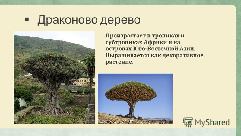 Драконово дерево Произрастает в тропиках и субтропиках Африки и на островах Юго-Восточной Азии. Выращивается как декоративное растение.